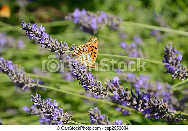 Butterfly on lavender - csp29530341