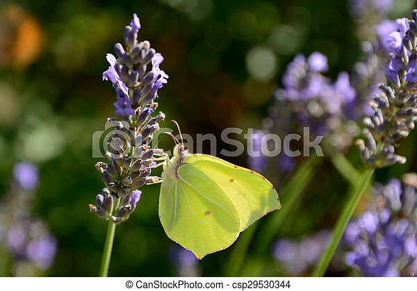 Butterfly on lavender - csp29530344