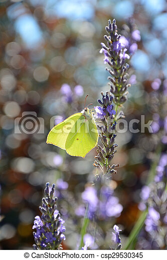 Butterfly on lavender - csp29530345