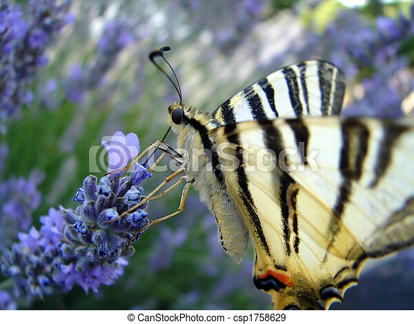 Butterfly on lavender - csp1758629
