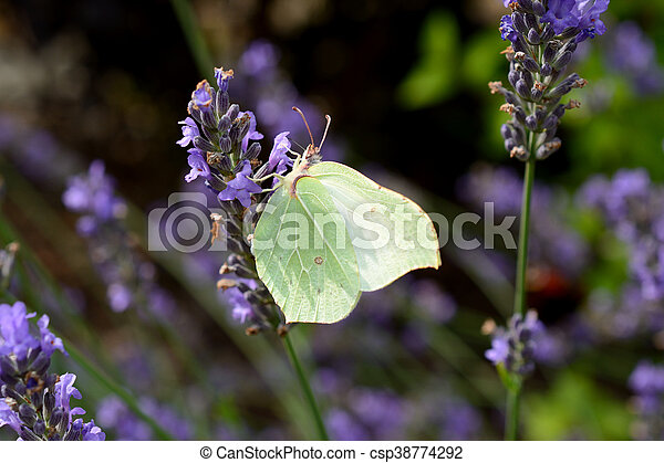 Butterfly on lavender - csp38774292