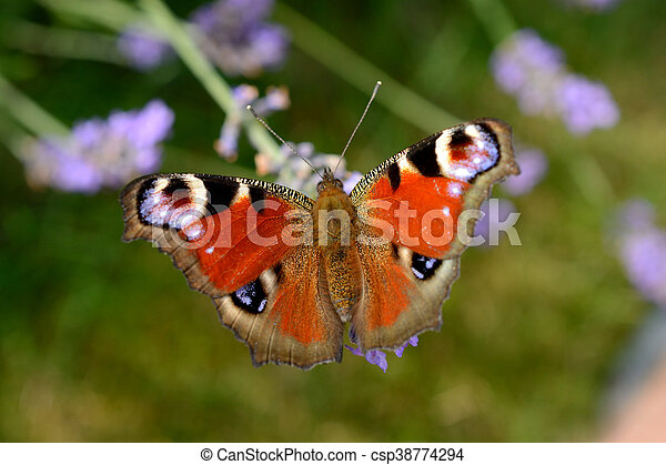Butterfly on lavender - csp38774294