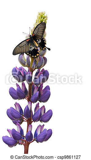 Butterfly on lupin flower - csp9861127