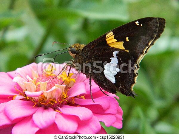 Butterfly on Pink Zinnia Flower - csp15228931