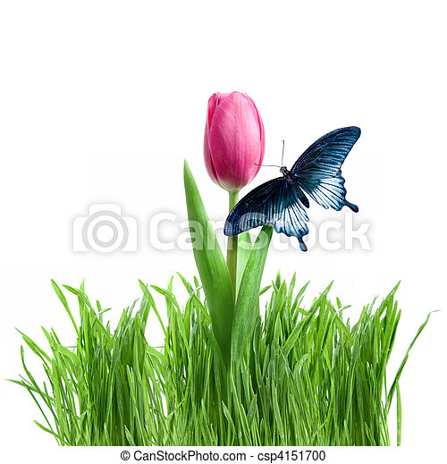 butterfly on purple tulip in green grass isolated on white - csp4151700