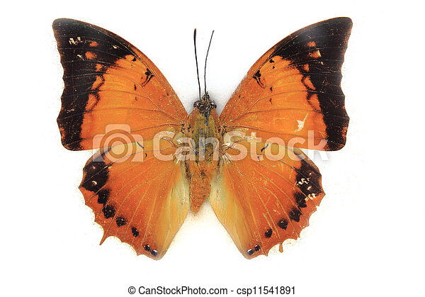 Butterfly on white background - csp11541891