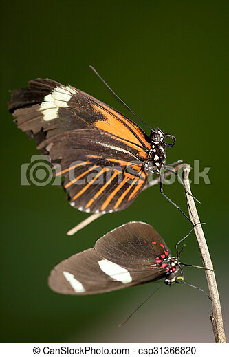 Butterfly Pair Resting - csp31366820
