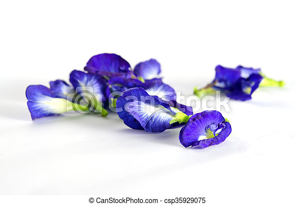 Butterfly pea or blue pea flowers isolated on white background butterfly pea or blue pea flowers isolated on white background csp35929075 mightylinksfo