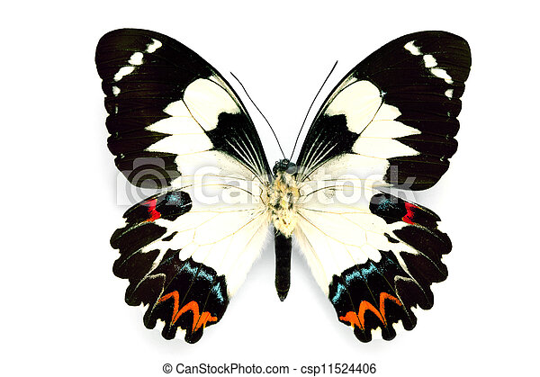Butterfly series - Rare Beautiful Butterfly - csp11524406