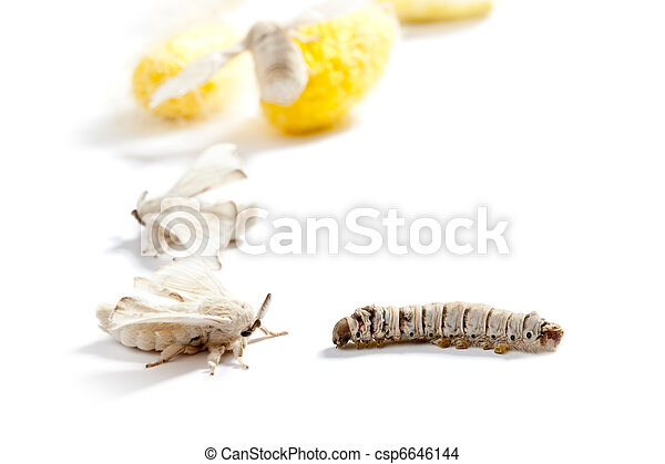 butterfly silkworm cocoon silk worm three stages - csp6646144