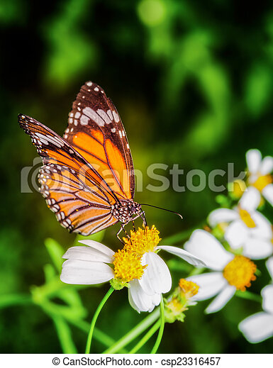 Butterfly  - csp23316457