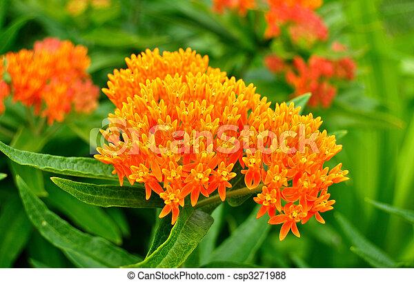 Butterfly Weed (Asclepias tuberosa) Milkweed Wildflower - csp3271988