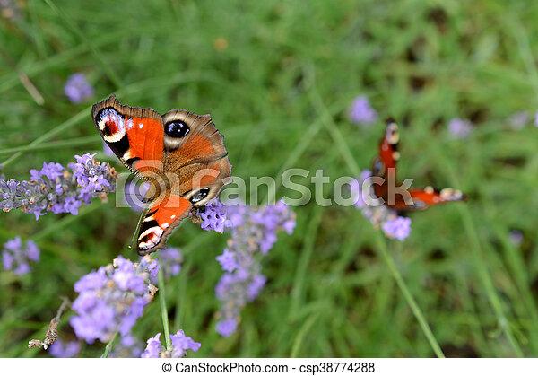 Butterflys on lavender - csp38774288