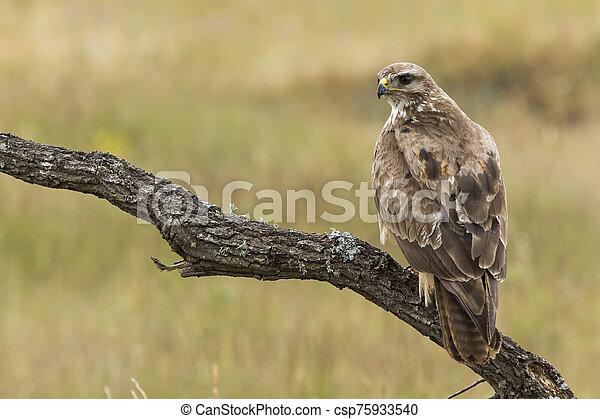 Buzzard, ( Buteo buteo ), perched on his perch - csp75933540