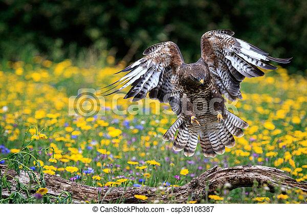 buzzard - csp39108387