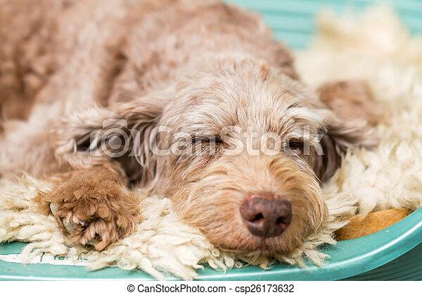 cão, dormir - csp26173632
