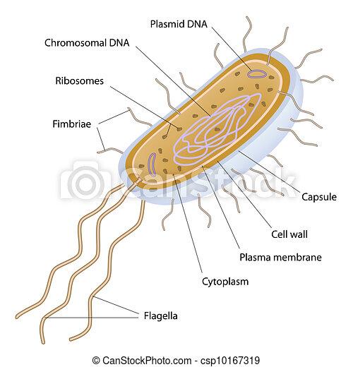 Estructura de una célula bacteriana - csp10167319