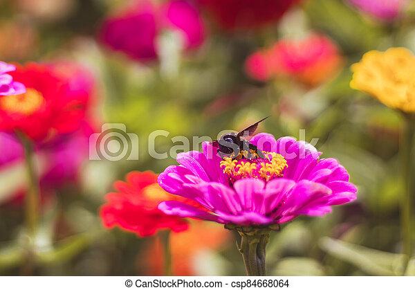 cínie, květiny, detail, včela, květ, názor, zahrada, tesař, karafiát, červeň - csp84668064