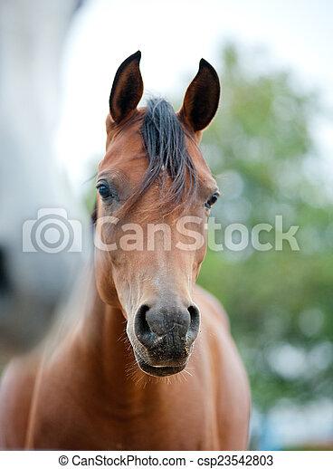 caballos, cierre, árabe, arriba - csp23542803