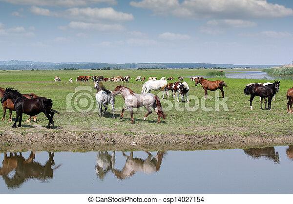 caballos, granja, corriente, escena, campo - csp14027154