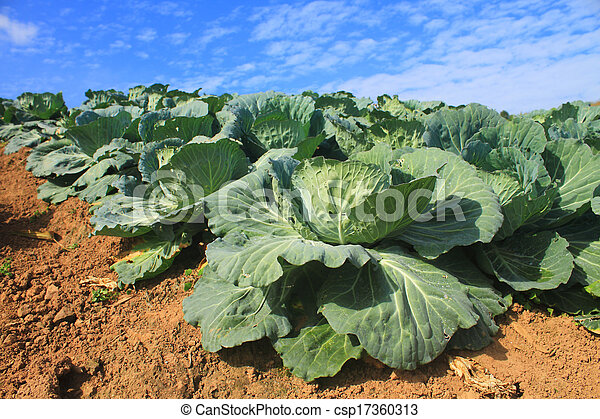 Cabbage agriculture fields  - csp17360313