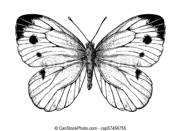 Cabbage butterfly drawing - csp57456755