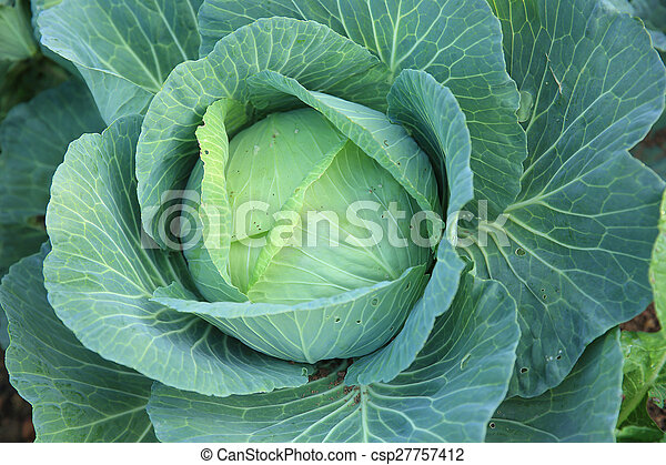 cabbage crops in growth at field - csp27757412
