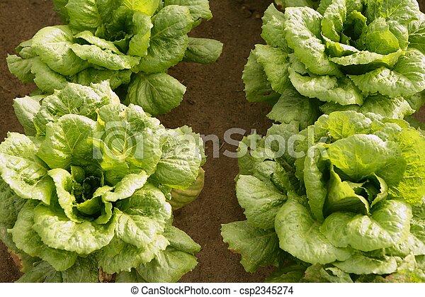 Cabbage fields in Spain - csp2345274
