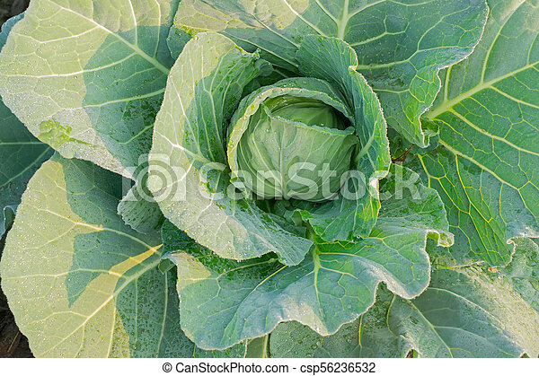 Cabbage growing in field, rural farming in West Bengal, India