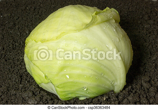 Cabbage grows in the ground - csp36363484