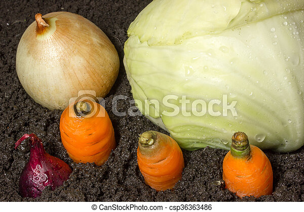 Cabbage grows in the ground - csp36363486