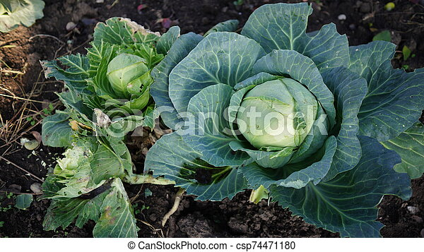 Cabbage is edible plants grow in the garden. Closeup top view of fresh green cabbage. The concept of agriculture. - csp74471180