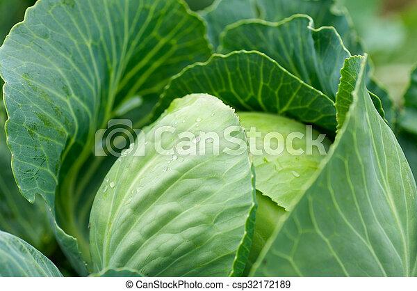 Cabbage - csp32172189