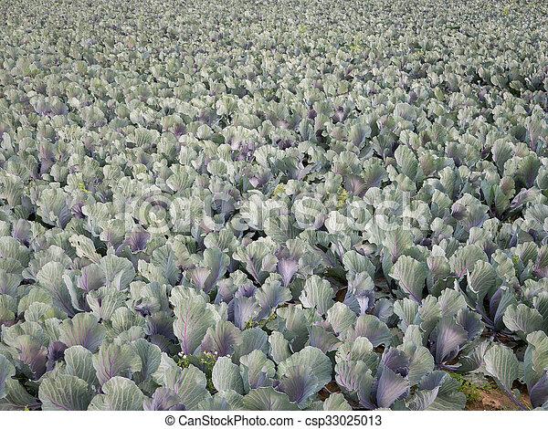 Cabbage plantation top view - csp33025013