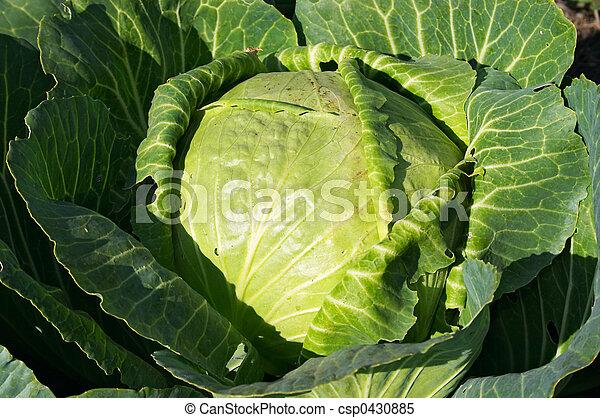 Cabbage - csp0430885