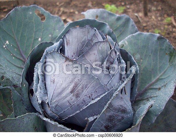 Cabbage - csp30606920