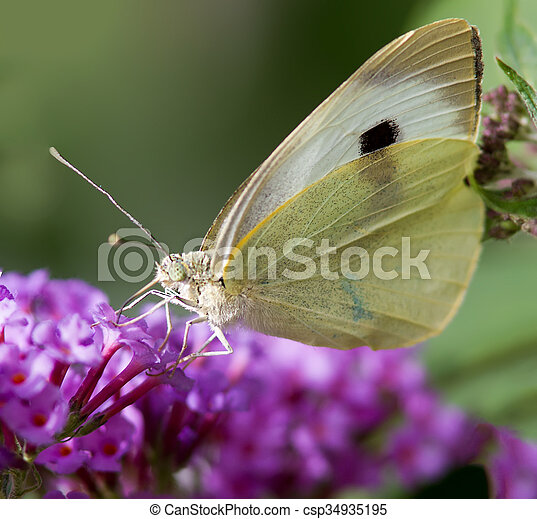Cabbage White Butterfly - csp34935195