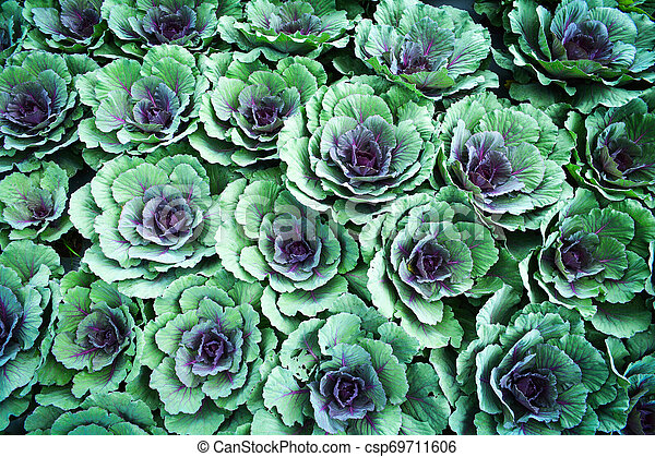 Cabbages Vegetable Texture Background Colorful Ornamental