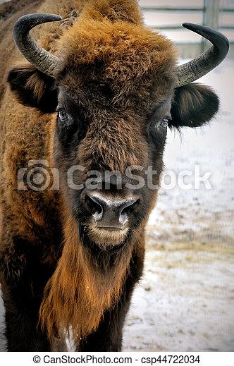 cabeça, bisonte, inverno, europeu - csp44722034