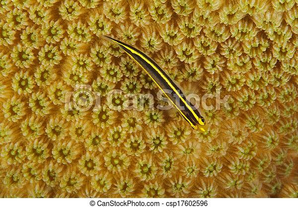 Goby de Yellownose en cabeza de coral - bonaire - csp17602596