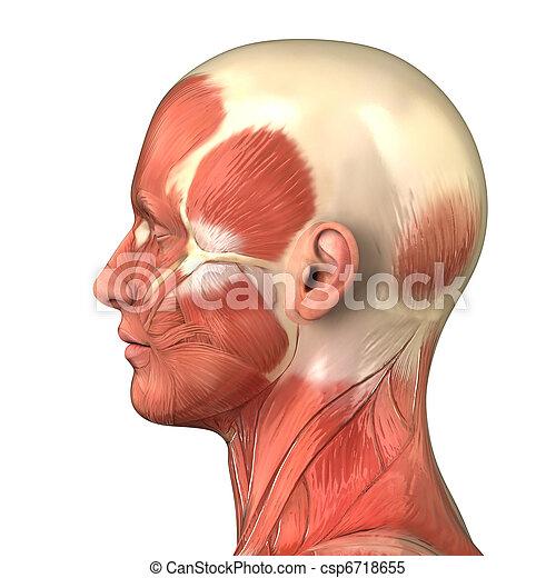 Cabeza, derecho, lateral, sistema, muscular, anatomía, vista ...