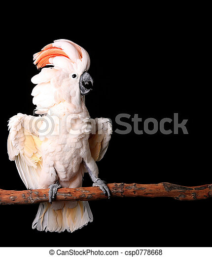 cacatoès, sien, ailes, moluccan, dehors - csp0778668