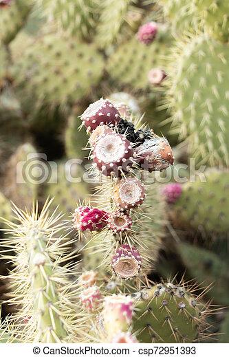 cactus, barbary, variété, donner, méditerranéen, figues, fruits, cultures, rouges - csp72951393