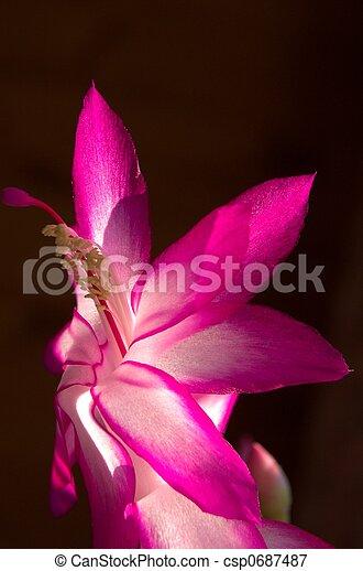 Cactus Flower - csp0687487