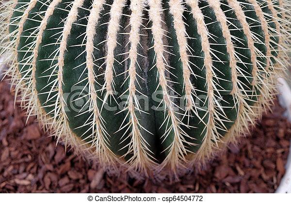 Cactus - csp64504772
