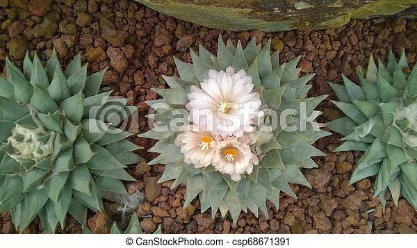cactus - csp68671391
