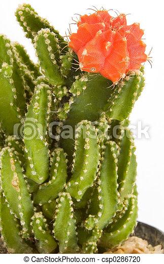 Cactus - csp0286720
