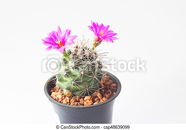 Cactus with pink flowers on white background cactus with pink flowers on white background csp48639099 mightylinksfo