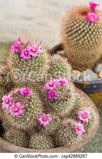 Cactus with small purple flowers in a pot cactus with small purple flowers csp42889287 mightylinksfo