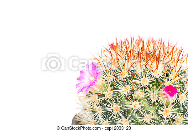 cactus with violet flowers isolated on white background - csp12033120